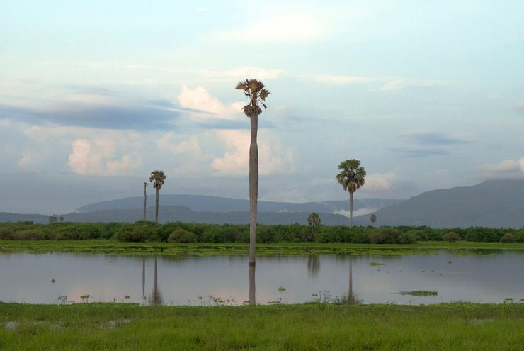 Borassus Palms