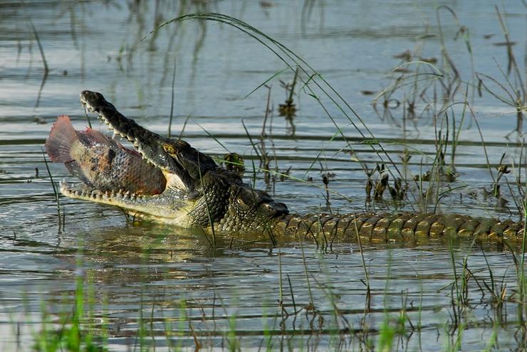 AnCrocodile chomps a Fish