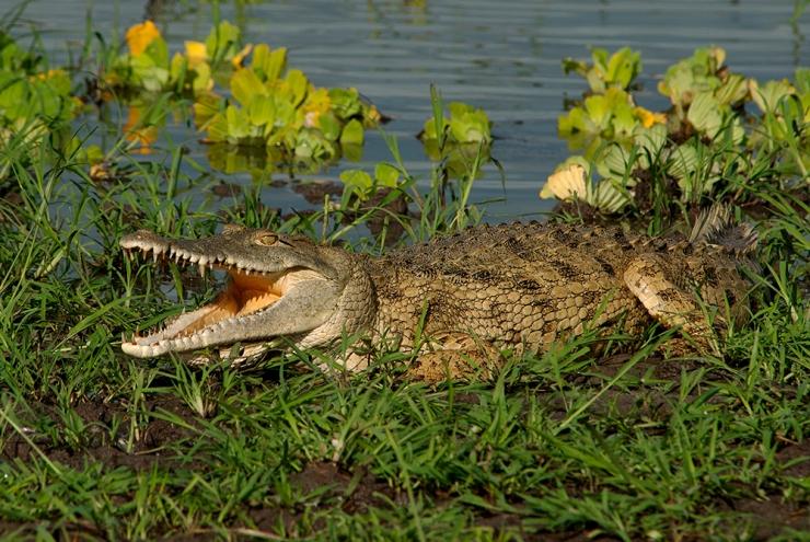 A croc comes quite close