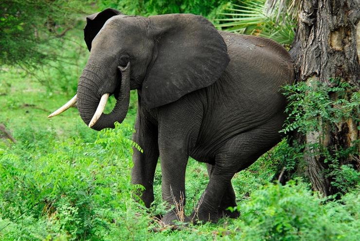 An Elephant Scratching its bum.