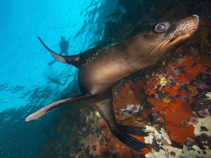 A Fur Seal