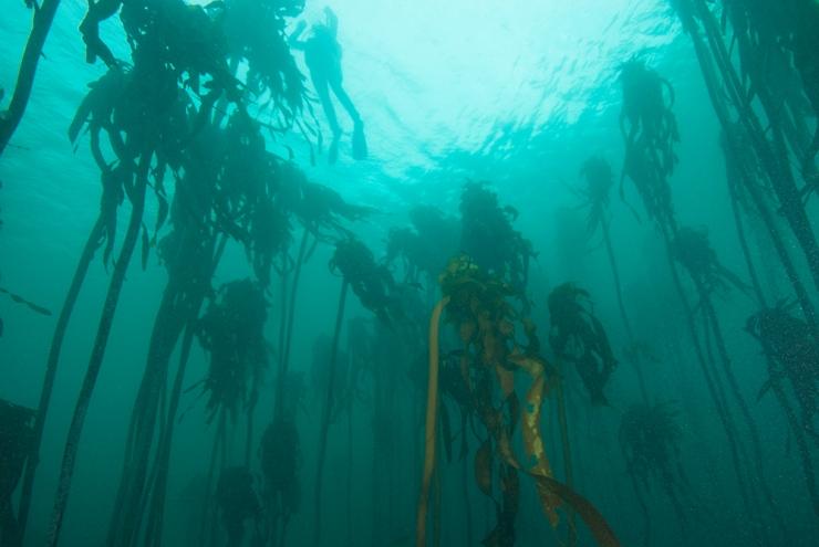 Kelp Forest #2