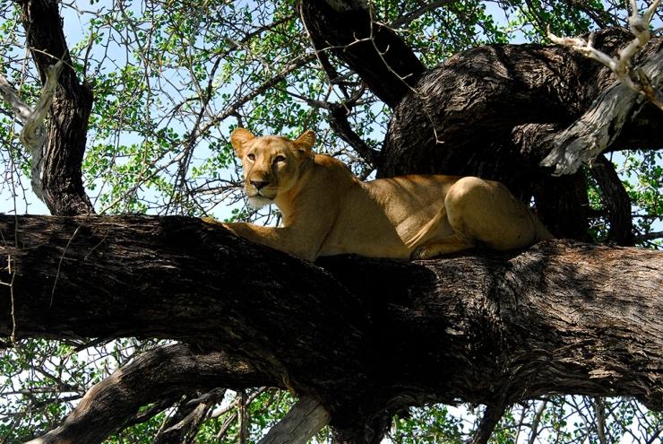 A tree climbing lion