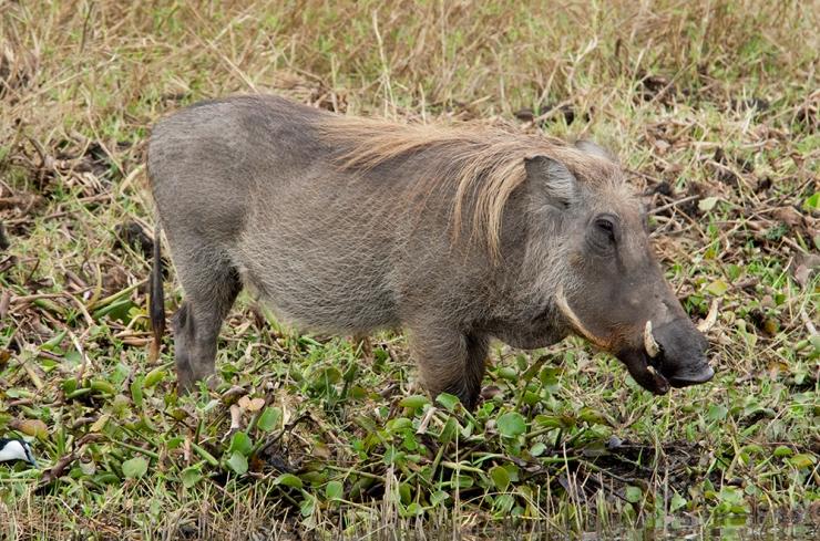 A Warthog grazes