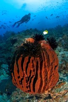Barrel Sponge and Diver