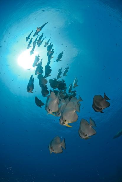 Batfish School