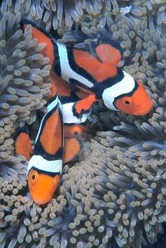 Clownfish Trio