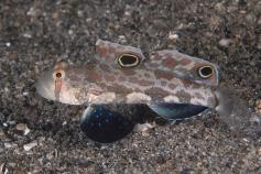 Crab-Eye Goby