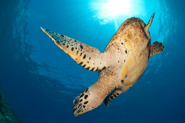 Hawksbill Turtle Expanded