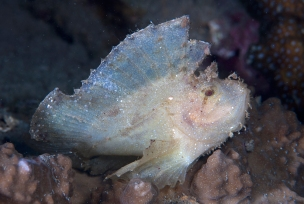 Leaf Scorpionfish, Dickie's Place