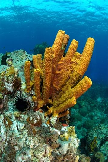Yellow Tube Sponge, Swiss Cheese
