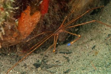 Yellowline Arrow Crab, Dive Dominica Jetty