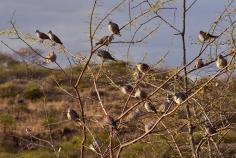 Cape Turtle Doves