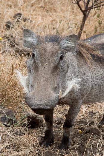 Warthog 2