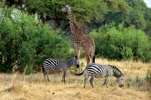 Zebras and Giraffe