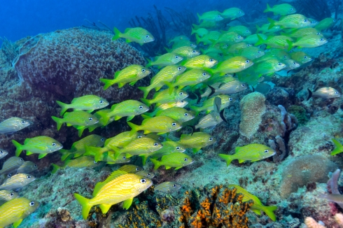French Grunt School - Shark Reef