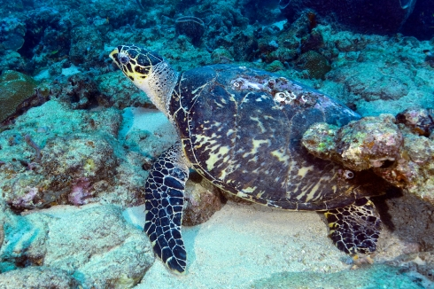 Hawksbill Turtle - Shark Reef
