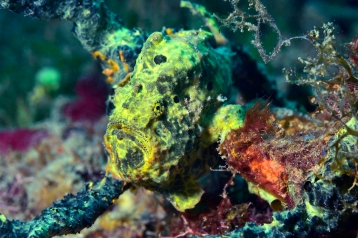 Longlure Frogfish - Molinere