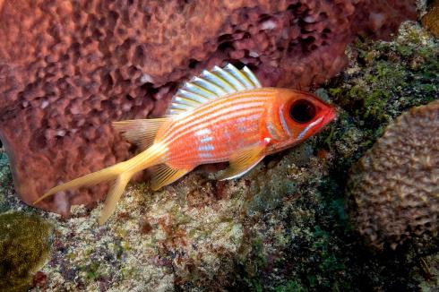 Longspine Squirrelfish - Shark Reef