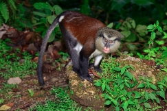 Mona Monkey, Grand Etang Forest