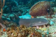 Nurse Shark - Shark Reef #1