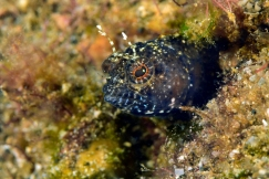Sailfin Blenny - Flamingo Bay