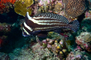 Spotted Drum - Shark Reef