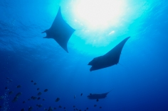 Yap is famous for its Manta Ray diving, but the islands hold so much more than just diving